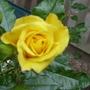 Roses taken 2009