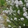 Lavandula_angustifolia_nana_alba_2010
