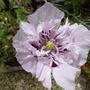 Poppy: Lilac Pom Pom