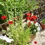 Ladybird poppies....