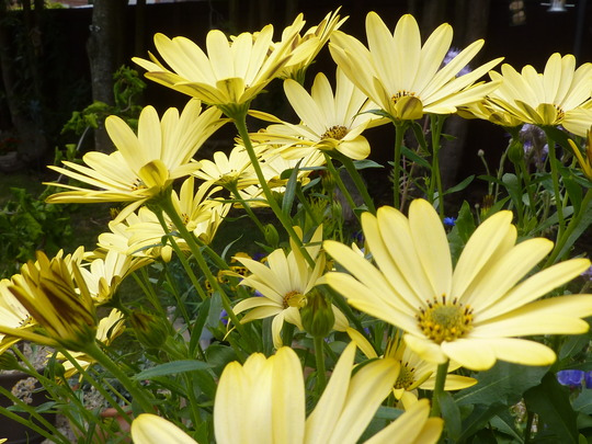 Sea of Osteospermum......