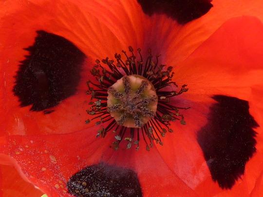 Ladybird Poppy: Close-up.....