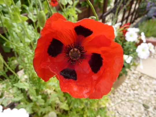 Ladybird Poppy.....