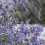 Hummingbird on Catmint (Nepeta x faassenii (Catmint))