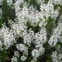 Hebe pinguifolia (Hebe pinguifolia)