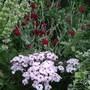 Lychnis coronaria 'Gardeners' World'