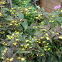 LYSMACHIA/ FIRE CRACKER