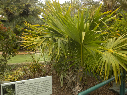 Twin Thrinax radiata - Florida Thatch Palm at San Diego Zoo (Thrinax radiata - Florida Thatch Palm)