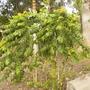Spathodea campanulata - African Tulip Tree Seedlings (Spathodea campanulata - African Tulip Tree)