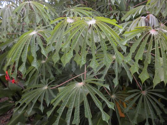 Manihot escalenta - Tapioca, Cassava Tree (Manihot escalenta - Tapioca, Cassava Tree)
