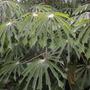 Manihot escalenta - Tapioca, Cassava Tree