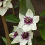 Clematis florida 'Sieboldii' again.