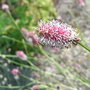 Sanguisorba officinalis - 2010 (Sanguisorba officinalis)