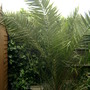garden palm