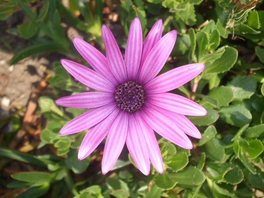A garden flower photo (osteospurmum)