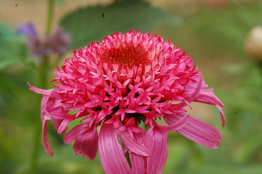 Echinacea 'Pink Double Delight'