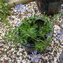 Felicia amelloides Blue marguerite (Felicia amelloides (Blue Marguerite))