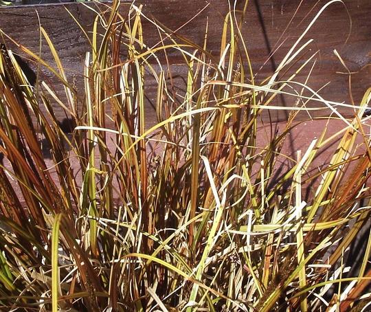 Hook Sedge (Uncinia rubra)