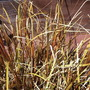 Hook Sedge (Uncinia rubra)