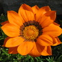 Ganzia/Gazania orange