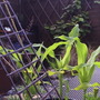 "Sweetcorn ""Sparrow"" helping to create a jungle/Caribbean ambience to our ""Pirates"" garden. When taller, it could well resemble sugar cane.."