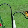 Baltimore Northern Oriole