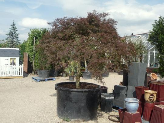 Mature Acer Palmatum atropurpurem .