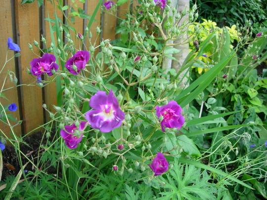 rosa 'Purple Skyliner'