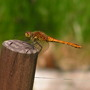 a young dragon fly