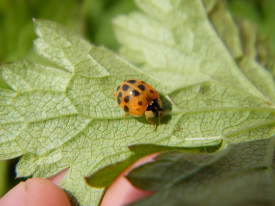 18 spotted ladybird