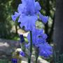 Ultra-violet Iris (Iris)