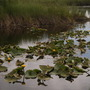 Pond and Lily (Nuphar polysepalum)