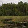 Lily Pond (Nuphar polysepalum)