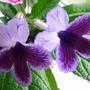 Strep_deep_purple