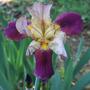 Merlot(?) Iris