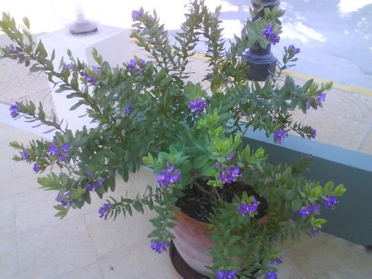 Polygata Mrytifolia