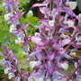 Sclarea 'Piemont' for Tommymoo (Salvia sclarea (Clary))