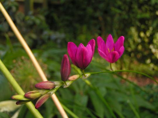 A garden flower photo (Ixia)