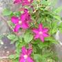 A garden flower photo (clematis)