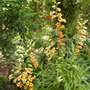 Digitalis Goldcrest