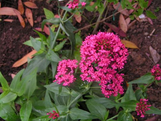 Centranthus ruber var. coccinea (Centranthus ruber var. coccinea)