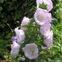 Campanula medium (Campanula medium (Canterbury bells))