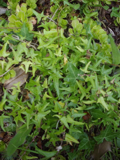 Hedera hedrix Pedata (Hedera helix pedata)