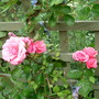 """Rosa """"Pink Perpetue"""""""