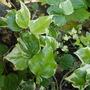 Hedera canarienis variegata (Hedera canariensis (Canary Island Ivy))