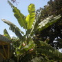 Musa 'Ice Cream' - Ice Cream Banana Plants (Musa 'Ice Cream' - Ice Cream Banana Plants)