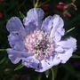 Scabiosa_clive_greaves_