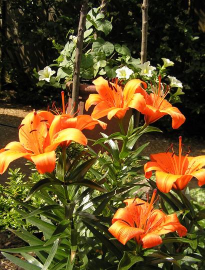 Lilium longiflorum 'Flevo' Orange (Lilium longiflorum (Easter lily))