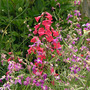Penstemon heterophyllus (Penstemon)