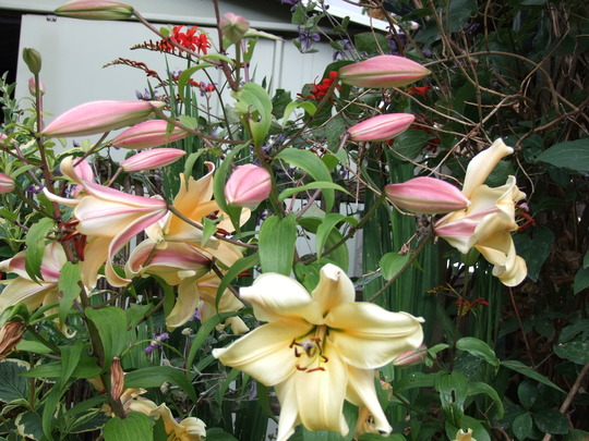 These lillies smell amazing